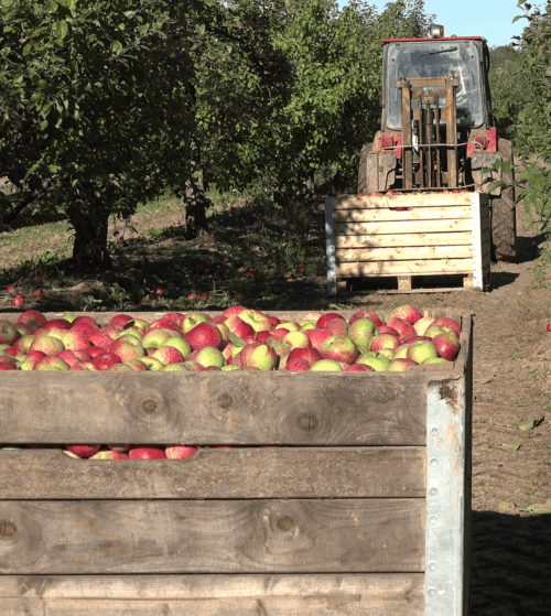 Apple picking at Russell Orchards
